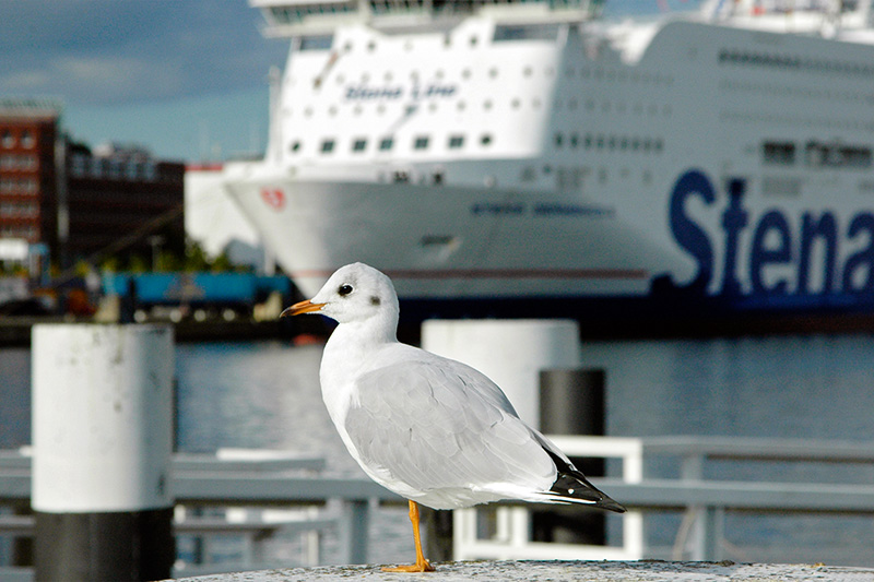 seagull (in the foreground) an Stena Line ferry (background))
